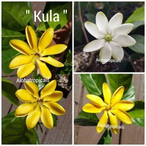 Gardenia Tubiferi Kula