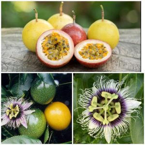 Passiflora Edulis Flavicarpa Lilikoi