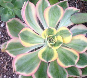 Aeonium Rainbow