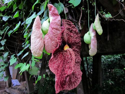 Aristolochia  Brasiliensis