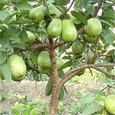 Asian Guava