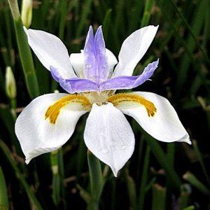 Dietes Iridiodes African Iris