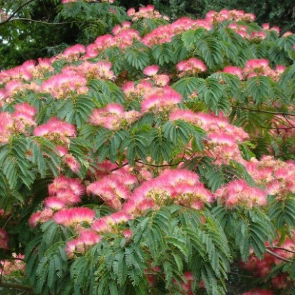 Albizzia Julibrissin Pink Silk Tree