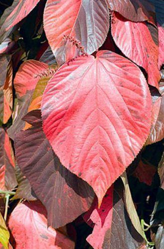 Acalypha Wilkesiana Macrophylla