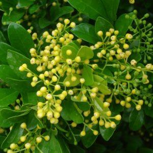 """Aglaia Ordata """"Bird Tail""""  Rice Plant"""
