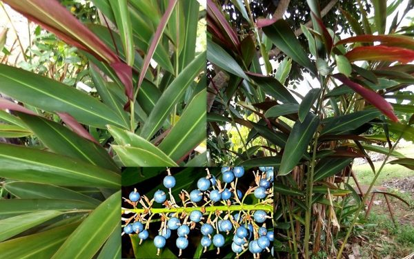 Alpinia Coerulea Blue Berry Ginger