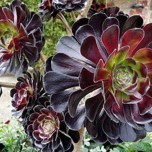 Aeonium Purple Rosette
