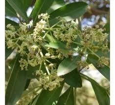 Alstonia Scholaris Pari Mari Devil Tree