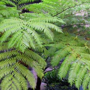 Cyathea Alsophila Cooperi Australian Tree Fern