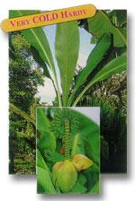 "Musa Basjoo ""Japanese Fiber Banana"""