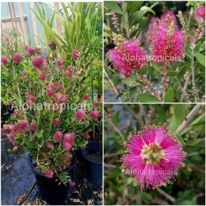 Callistemon Viminalis Neon Pink Bottle Bush