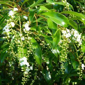 Citharexylum Spinosum Bali Flower