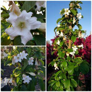 Beaumontia Grandiflora  Heralds Trumpet