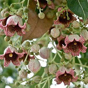 Brachychiton Populneus  Bottle Tree