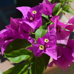 "Bougainvilla Brasiliensis ""Royal Purple"""