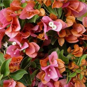 "Bougainvilla ""Rainbow Gold"""