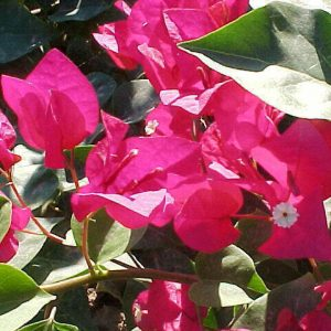 "Bougainvillea ""Lajolla Red"""