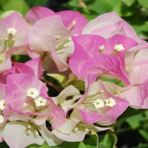 "Bougainvillea ""Imperial Thai Delight"""