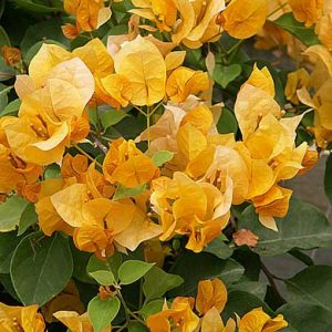 "Bougainvillea ""Gold"""