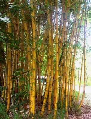 Bambusa Vulgaria  Vittata Painted Bamboo)