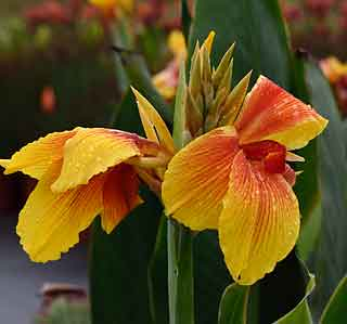 "Cannas ""Transvaal Beauty"""
