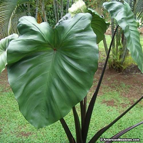 Colocasia Esculenta Violet Stem
