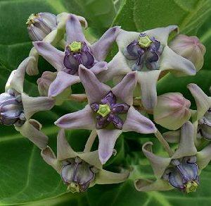 Calotropis Gigantea Crown Flower Purple