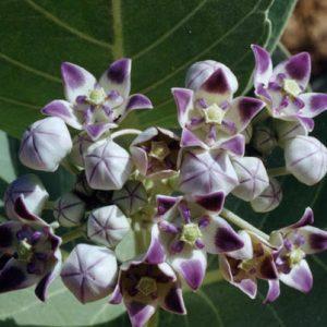 Calotropis Procera Purple-White Crown Flower