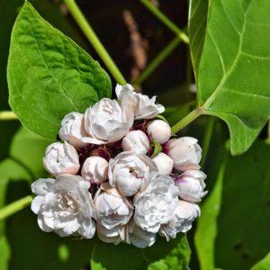 Cleodrendrum Chinese False Pikake