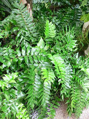 Cyrotomium Falcutum Japanese Holly Fern