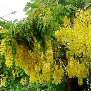 Cassia Fistula Golden Shower Tree