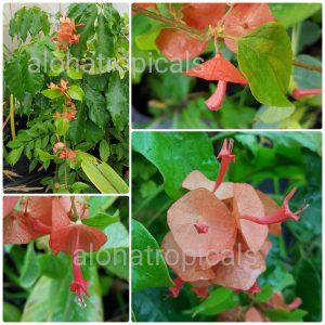 Chinese Hat Plant Holmskioldia Sanguinea