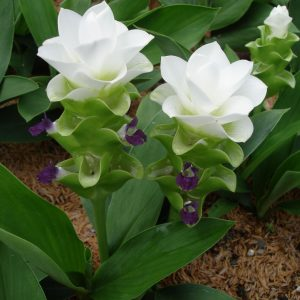 Curcuma Thorellii Chaing Mai Snow