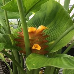 Curcuma Khymer Orange