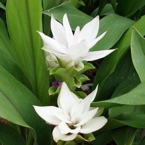 Curcuma Alismatifolia Chaingmai White