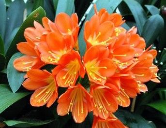 Clivia Miniata Kaffir Lily Orange