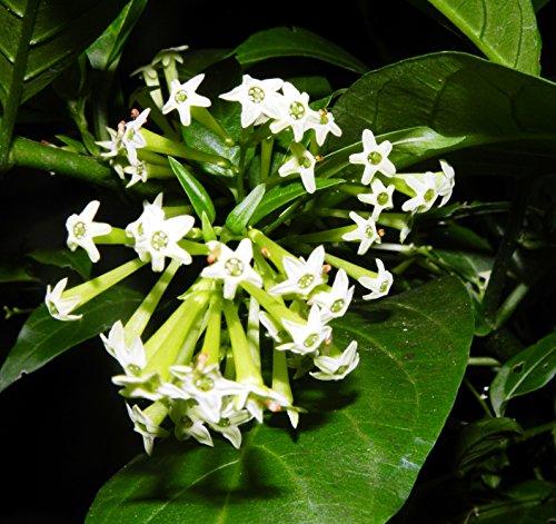 Cestrum Nocturnum Night Blooming Jasmine