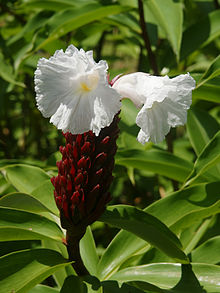 Costus Speciosus Crepe ginger / Malay ginger