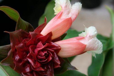 Costus Sp. Peruvian Pink