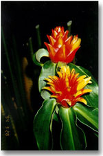 Costus Curvibractiatus Red Yellow Waxy