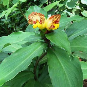 Costus Sp. Hieroglyphics