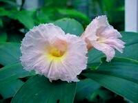 Costus Sp. Vietnam Lavender