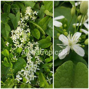 Clemantis Paniculata