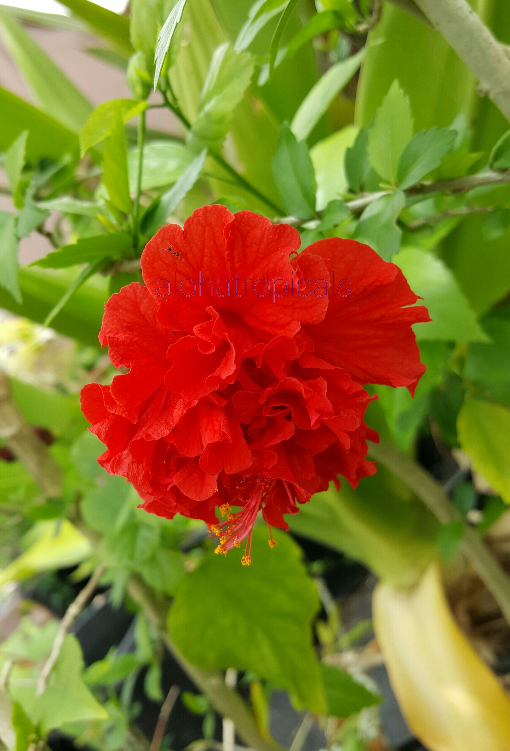 Red Hibiscus Carnation Rosa Sinensis Aloha Tropicals