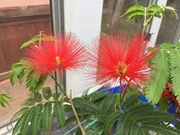 Calliandra Tweedii Red Flash