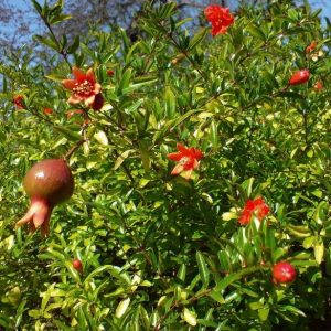 Punica Nana Dwarf Pomegranate