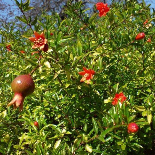 Punica Nana Dwarf Pomegranate
