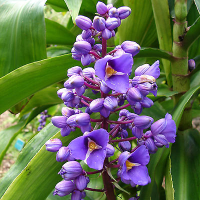 Dichorisandra Thrysifolia Blue Ginger