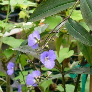 Dichorisandra Thyrsiflora Pendant Blue Ginger