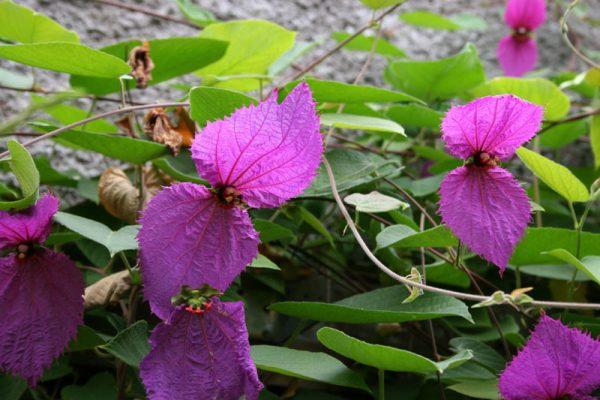 Dalechampia Dioscoraefolia Winged Beauty Vine
